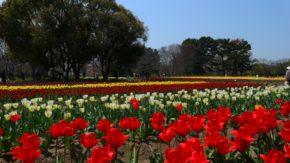 大阪万博記念公園チューリップフェスタ2017