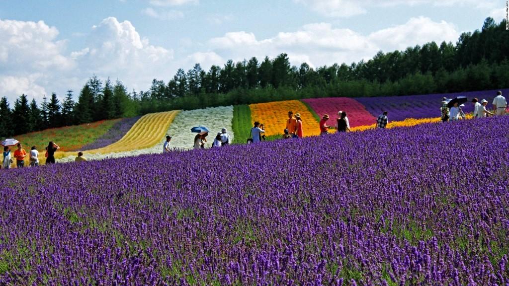 ラベンダー畑(北海道)