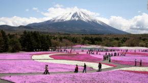 富士芝桜まつり(山梨)