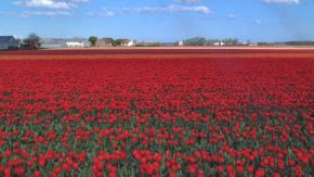 オランダ チューリップ畑
