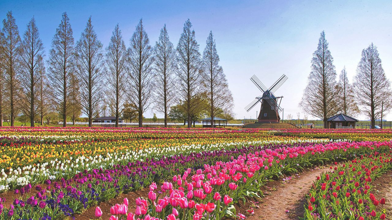 https://www.happy-clovers.com/wp-content/uploads/2020/07/TulipWindmill2MV1280.jpg
